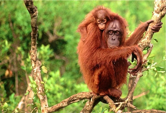 Bornean-Orangutans-photo-via-WWF